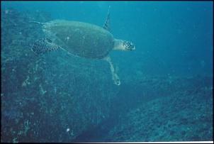 Diving - Tartaruga marinha